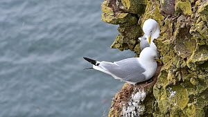 Female Kittiwake (Rissa tridactyla) begging for food from male on nest, Fowlsheugh RSPB Reserve, Aberdeenshire, Scotland, UK, May - Philippe Clement