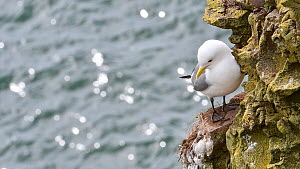 Kittiwake (Rissa tridactyla) resting on rock ledge in sea cliff face at seabird colony, Fowlsheugh RSPB Reserve, Aberdeenshire, Scotland, UK, May  -  Philippe Clement