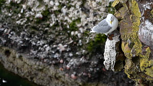 Kittiwake (Rissa tridactyla) preening on a rock ledge, with other birds nesting in the background, Fowlsheugh RSPB Reserve, Aberdeenshire, Scotland, UK, May  -  Philippe Clement