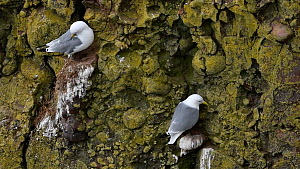 Kittiwakes (Rissa tridactyla) nesting on rock ledges on a sea cliff, one preening, Fowlsheugh RSPB Reserve, Aberdeenshire, Scotland, UK, May - Philippe Clement