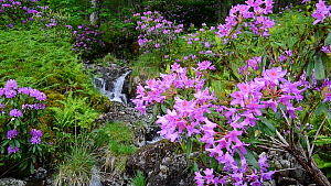 Panning shot of Rhododendron (Rhododendron ponticum) in flower, with waterfall in the background, Glen Etive, Scottish Highlands, Scotland, UK, May.  -  Philippe Clement