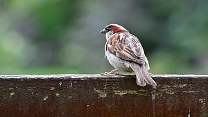Male House sparrow (Passer domesticus)  perched on a wooden garden fence before flying away, Belgium, August - Philippe Clement