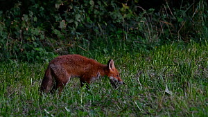 Juvenile Red fox (Vulpes vulpes) hunting and eating insects in a meadow at dusk, Belgium, September  -  Philippe Clement