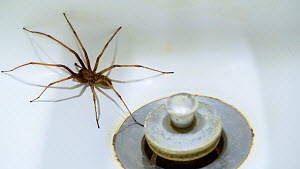 House spider (Tegenaria duelica) trapped in a washbasin in bathroom, Belgium, September. - Philippe Clement