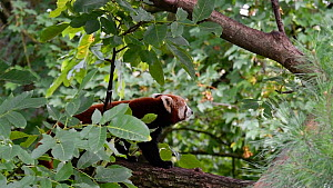 Red panda (Ailurus fulgens) walking over tree branch. Captive, native to the eastern Himalayas and southwestern China. - Philippe Clement