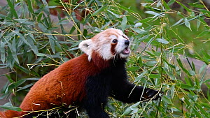 Red panda (Ailurus fulgens) eating bamboo leaves. Captive, native to the eastern Himalayas and southwestern China. - Philippe Clement