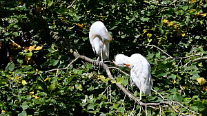 Two Cattle egrets (Bubulcus ibis) preening, perched in a tree. Captive. - Philippe Clement