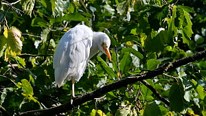 Cattle egret (Bubulcus ibis) preening, perched in a tree. Captive. - Philippe Clement