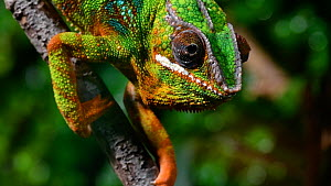 Panther chameleon (Furcifer pardalis) in tree, showing rotating eyes. Captive, native to Madagascar. - Philippe Clement