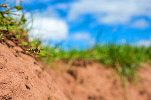 Ornate tailed digger wasp (Cerceris rybyensis) flying to nest burrow, Monmouthshire, Wales, UK, August. - Phil Savoie