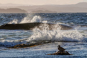 Common eider duck (Somateria mollissima) female resting on rock with waves, Oslo Fjord. Southern Norway, June. Winner of the Portfolio Award of the Terre Sauvage Nature Images Awards Competition 2017. - Pal Hermansen