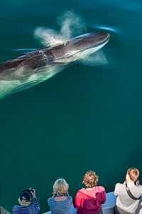 Aerial view of Fin whale (Balaenoptera physalus) surfacing and blowing with whale watchers. Sea of Cortez, Baja California, Mexico. Endangered Species - Mark Carwardine