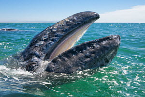 Grey whale (Eschrichtius robustus) at water surface with mouth open showing baleen plates, San Ignacio Lagoon, Baja California, Mexico  -  Mark Carwardine