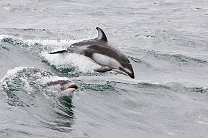 Pacific white sided dolphins (Lagenorhynchus obliquidens) porpoising in waves, Baja California, Mexico.  -  Mark Carwardine