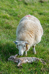 White sheep, ewe sniffing at her dead lamb in meadow in spring, Scotland, UK, June - Philippe Clement