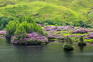Common rhododendrons (Rhododendron ponticum) in flower along Loch Etive, invasive species in the Scottish Highlands, Scotland, UK, May  -  Philippe Clement