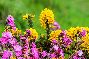 Red campion / red catchfly (Silene dioica) and common gorse / furze / whin (Ulex europaeus) in flower in spring, Fowlsheugh, Scotland, UK, May  -  Philippe Clement