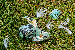 Predated egg shells of Common murre / guillemot (Uria aalge) broken and eaten by Herring gull or Great skua, Fowlsheugh, Scotland, UK, May - Philippe Clement