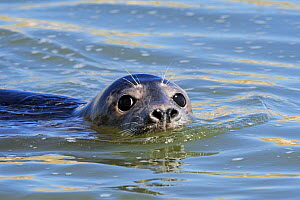Close-up head of young Grey seal (Halichoerus grypus) swimming in the Ythan Estuary, Sands of Forvie, Newburgh, Aberdeenshire, Scotland, UK, May  -  Philippe Clement