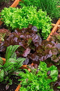 Square foot garden showing different species of lettuce, herbs and vegetables in wooden box, April - Philippe Clement
