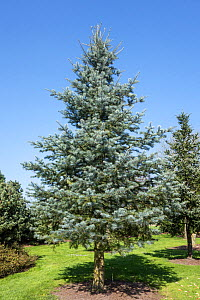 Blue Cloak Colorado white-fir (Abies concolor), native to western North America, April  -  Philippe Clement