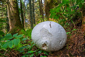 Giant puffball (Calvatia gigantea / Langermannia gigantea) on the forest floor in late summer, Luxembourg, August  -  Philippe Clement