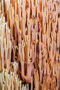 Strict-branch coral / Upright coral fungus (Ramaria  / Clavaria stricta) on the forest floor, Luxembourg, August  -  Philippe Clement