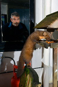 Young male Pine Marten (Martes martes) feeding on fruit cake on a bird table at a guest house at night, watched by a guest, Knapdale, Argyll, Scotland, October. Photographed using a remote camera. Mod...  -  Nick Upton
