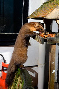 Young male Pine Marten (Martes martes) feeding on fruit cake on a bird table at a guest house at night, Knapdale, Argyll, Scotland, October. Photographed using a remote camera trap. Property released.  -  Nick Upton