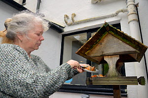 Lynn Laws placing cake on the bird table at her guest house for visiting Pine martens (Martes martes) to feed on, Knapdale, Argyll, Scotland, October. Photographed using a remote camera. Model and pro...  -  Nick Upton