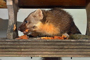 Adult female Pine Marten (Martes martes) feeding on fruit cake on a bird table at a guest house at night, Knapdale, Argyll, Scotland, October. Property released.  -  Nick Upton