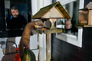 Young male Pine Marten (Martes martes) feeding on fruit cake on a bird table at a guest house at night, watched by two guests, Knapdale, Argyll, Scotland, October. Photographed using a remote camera....  -  Nick Upton