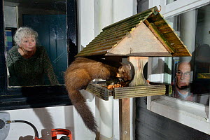 Young male Pine Marten (Martes martes) feeding on fruit cake on a bird table at a guest house at night, watched by the owner and a guest, Knapdale, Argyll, Scotland, October. Photographed using a remo...  -  Nick Upton
