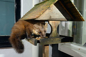 Adult female Pine Marten (Martes martes) feeding on fruit cake on a bird table at a guest house at night, Knapdale, Argyll, Scotland, October. Photographed using a remote camera trap. Property release...  -  Nick Upton