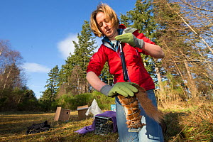 Becky Priestley, Wildlife Officer with Trees for Life, carrying out health checks on Red squirrels (Sciurus vulgaris) trapped as part of reintroduction to the north west Highlands, Moray, Scotland, UK... - SCOTLAND: The Big Picture
