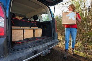 Becky Priestley, Wildlife Officer with Trees for Life, loading four Red squirrels (Sciurus vulgaris) into car, trapped as part of reintroduction to the north west Highlands, Moray, Scotland, UK. - SCOTLAND: The Big Picture