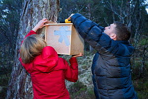 Becky Priestley, Wildlife Officer with Trees for Life, attaching transit box containing Red squirrel (Sciurus vulgaris) to tree, as part of reintroduction to the north west Highlands, Plockton, Scotla... - SCOTLAND: The Big Picture