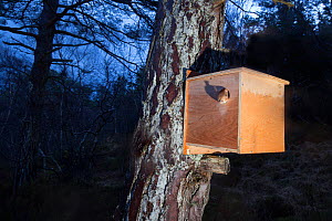 Remote camera shot of Red squirrel (Sciurus vulgaris) emerging from transit box following its translocation from Moray to Plockton, Scotland, UK. Winner of the Documentary Series Category of the Briti... - SCOTLAND: The Big Picture