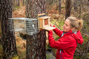 Becky Priestley, Wildlife Officer with Trees for Life, preparing cage trap to catch Red squirrels (Sciurus vulgaris) as part of reintroduction to the north west Highlands, Moray, Scotland, UK. - SCOTLAND: The Big Picture