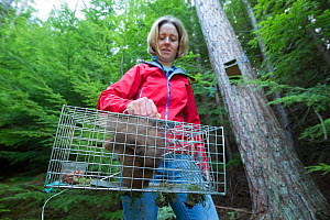 Becky Priestley, Wildlife Officer with Trees for Life, with Red squirrel (Sciurus vulgaris) caught in cage trap as part of reintroduction to the north west Highlands, Moray, Scotland, UK. - SCOTLAND: The Big Picture