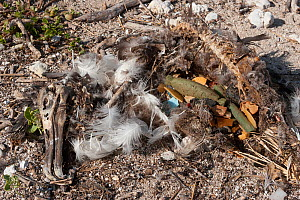 Carcass of Laysan albatross (Phoebastria immutabilis) chick showing  gut full of man-made plastic and foam items. It probably  starved after eating regurgitated plastic from its parents,which blocked... - Doug Perrine