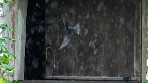 Slow motion clip of a Swallow (Hirundo rustica) flying into a barn in heavy rain, Carmarthenshire, Wales, UK, September. - Dave Bevan