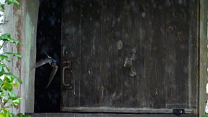 Slow motion clip of two Swallows (Hirundo rustica) flying out of a barn in heavy rain, Carmarthenshire, Wales, UK, September.  -  Dave Bevan