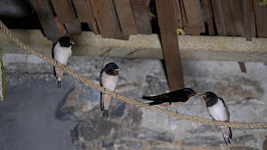 Swallow (Hirundo rustica) feeding juveniles perched on a rope near nest in a barn, Carmarthenshire, Wales, UK, September. - Dave Bevan