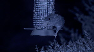Wood mouse (Apodemus sylvaticus) feeding from a bird feeder, filmed at night using an infra red camera, Carmarthenshire, Wales, UK, September.  -  Dave Bevan