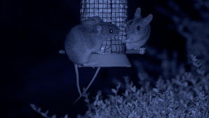 Two Wood mice (Apodemus sylvaticus) feeding from a bird feeder, filmed at night using an infra red camera, Carmarthenshire, Wales, UK, September.  -  Dave Bevan