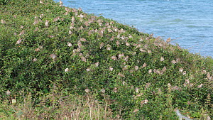 Large flock of House sparrows (Passer domesticus) resting in bushes before flying out of frame, Ceredigion, Wales, UK, September.  -  Dave Bevan