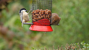 Bank vole (Myodes glareolus) feeding from a bird feeder anlongside a Coal tit (Periparus ater) and Blue tit (Cyanistes caeruleus), Carmarthenshire, Wales, UK, September.  -  Dave Bevan