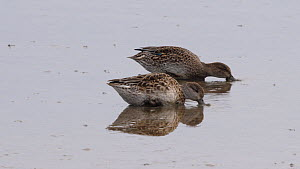 Two Teal (Anas crecca) feeding in shallow water, Norfolk, England, UK, October. - Dave Bevan