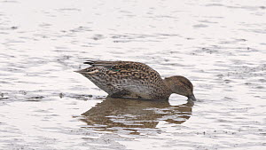 Teal (Anas crecca) feeding in shallow water, Norfolk, England, UK, October. - Dave Bevan